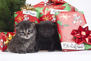 regalare i cuccioli di gatto