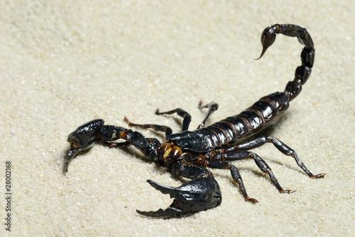 skorpion stockfotos und lizenzfreie bilder auf fotolia. Black Bedroom Furniture Sets. Home Design Ideas