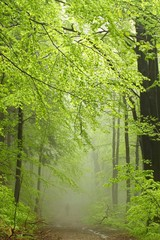 Keuken foto achterwand Bos in mist Mountain trail in misty spring forest during rainfall