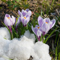 Flowers purple crocus in the snow