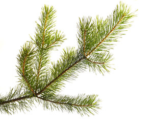 Fur-tree. Part christmas-tree. Isolated