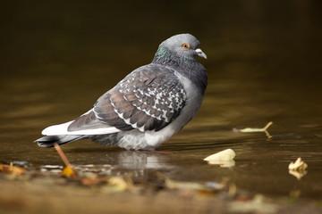 pigeon commun biset_1