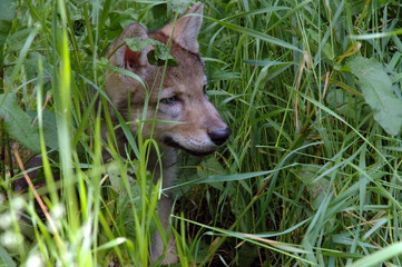 Baby wolf in the grass