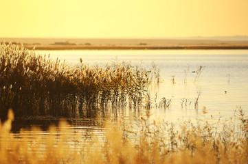 Foto op Aluminium Zwavel geel reed stalks in the swamp against sunlight.