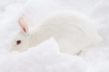 white rabbit in the snow