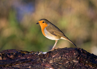 Robin on log (profile)