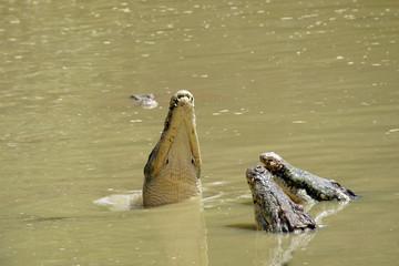 Crocodile. Borneo