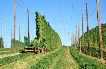 Harvesting on a Hop Field