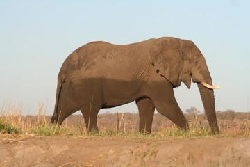 Elefant beim Sonnen