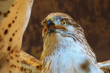 Close up isolated image of hawk