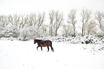 Brown horse walking in a snow covered field.