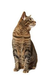 Brown Tiger Cat Sitting Tall
