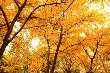 Ginkgo trees with yellow leaves