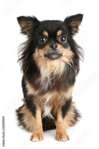 Long Haired Chihuahua Puppy Stock Photo And Royalty Free