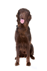 Brown Flatcoated retriever dog