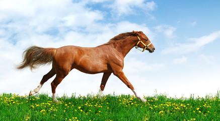 Fotoväggar - Trakehner sorrel stallion gallops in field