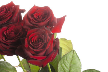 isolated roses