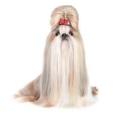 Dog of breed shih-tzu on white background