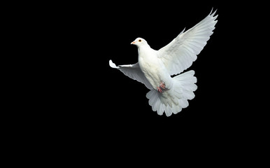 white dove in free flight Wall mural