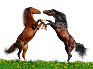 Wall Mural - Battle of horses on green field