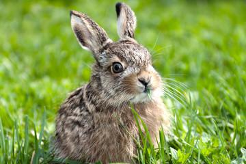 Llittle hare