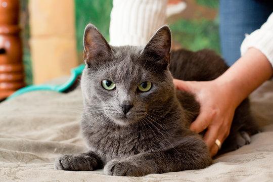 Crey cat
