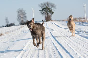 Irish Wolfhound im Schnee