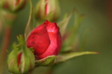 Macro Shot of Red Rose Flower Buds
