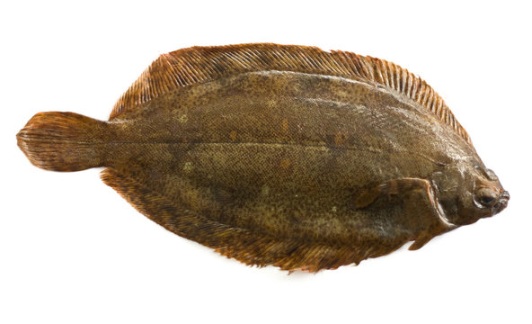 Torbay sole, or witch flounder (Glyptocephalus cynoglossus)