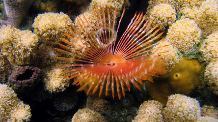 Beautiful feather duster worm in a coral reef, Caribbean sea, Panama