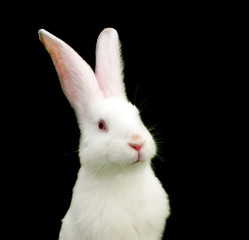 White Rabbit on Black Background - Symbol of 2011