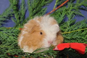 cochon d'Inde bébé Texel