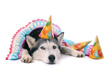 Hund Husky mit Partyschmuck