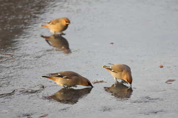 Waxwings drinking on ice