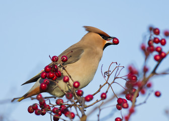 Waxwing eating red berry