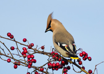 Waxwing on Hawthorn
