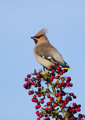 Waxwing on a branch full of Red Berries