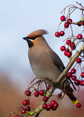 Waxwing close-up