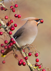 Waxwing eating berry, close-up