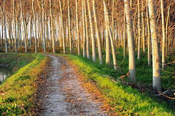 pioppeto alberi 1451