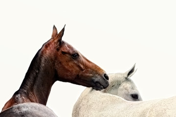 Brown and grey horses isolated on white