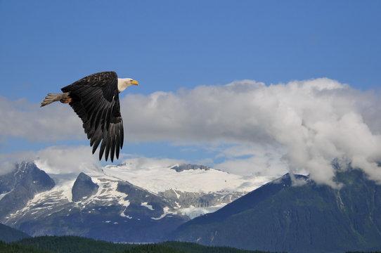 american bald eagle superimposed over alaska coastal mountain sc
