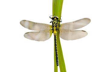 Dragonfly 37