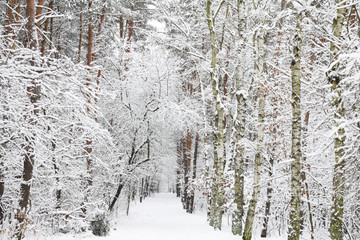 Snow covered forest - Winter impression