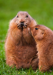 Black Tailed Prairie Dogs interacting