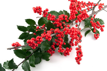 Branch of holly berry on white background