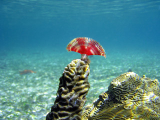 A split-crown feather duster worm on brain coral, Caribbean sea