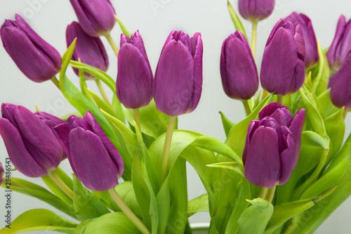 """""""tulipomania"""" stockfotos und lizenzfreie bilder auf"""