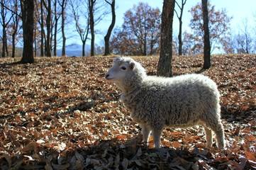 sheep ヒツジ 2
