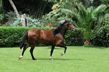 """Peruvian horse """"Caballo de Paso"""""""